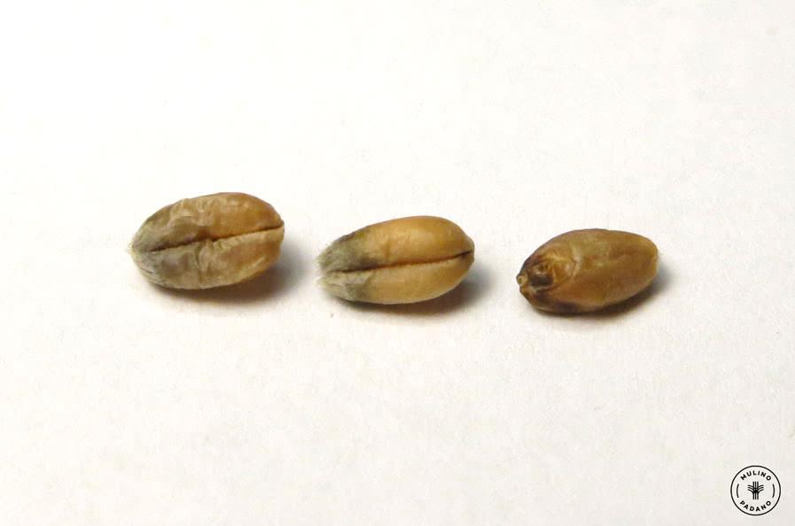 chicchi scartati selezionatrice ottica grano tenero