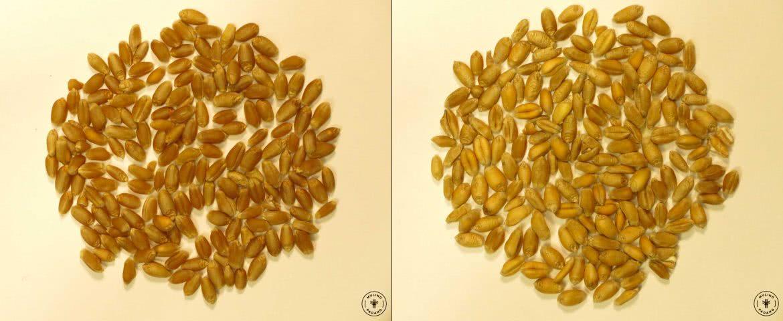 chicchi di grano tenero varietà selezione molino