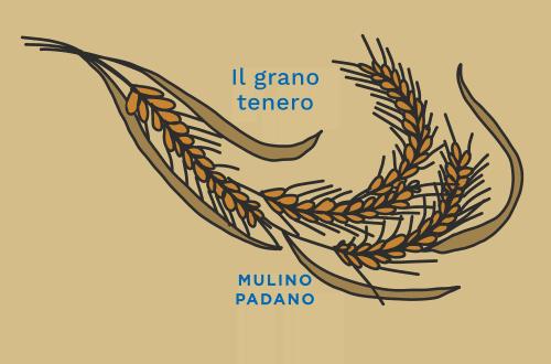 Il grano tenero: caratteristiche, proprietà e farine